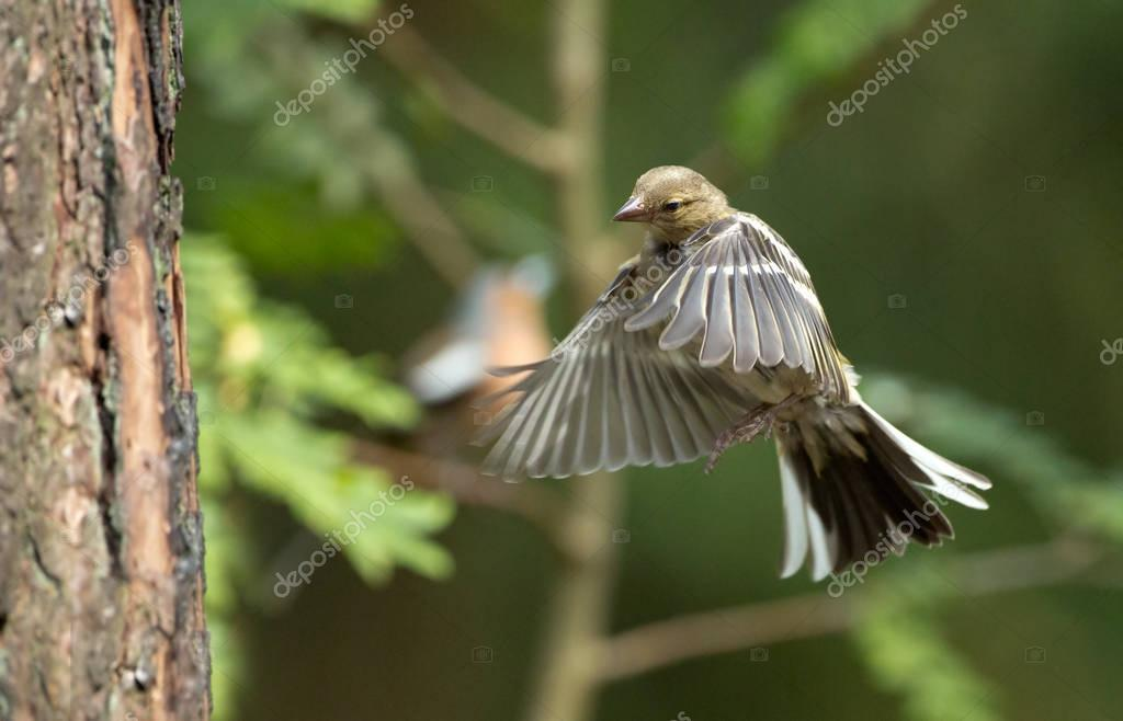 Chaffinch  bird  on nature