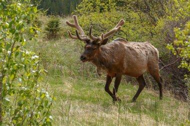 Portrait of  Elk on nature