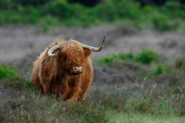 Highland Cow on nature