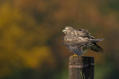 Buzzard on a pole in a autumn