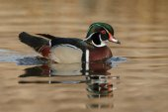Fotografie The wood duck or Carolina duck