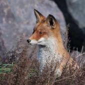 Red fox poblíž na černé skále