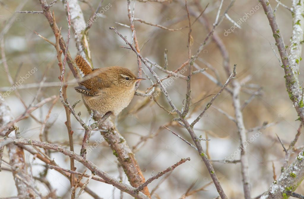 Winter wren in a winter setting
