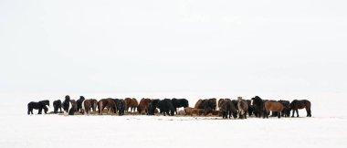 Icelandic horses standing