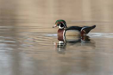 The wood duck or Carolina duck