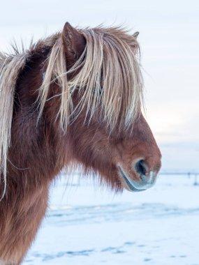 Icelandic horse on nature