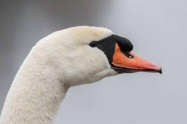 portrait of beautiful Swan