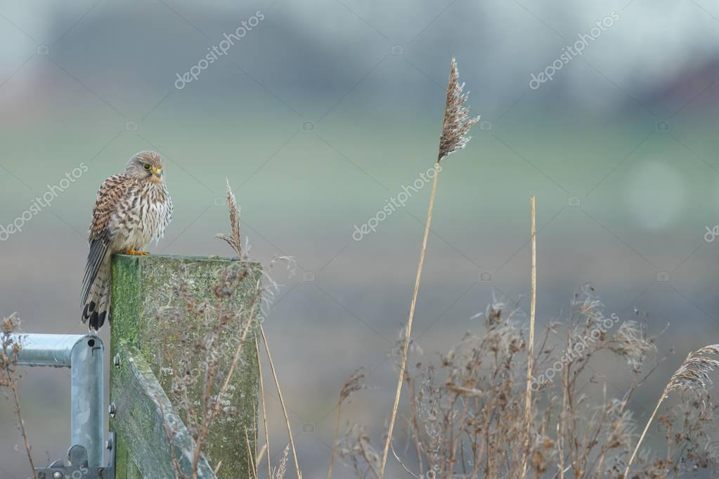 European common Kestrel