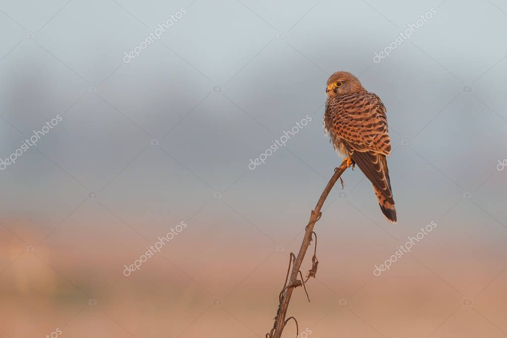 Common Kestrel in evening light