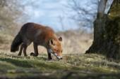 Red fox chodí na přírodu