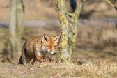 Liška v přírodě