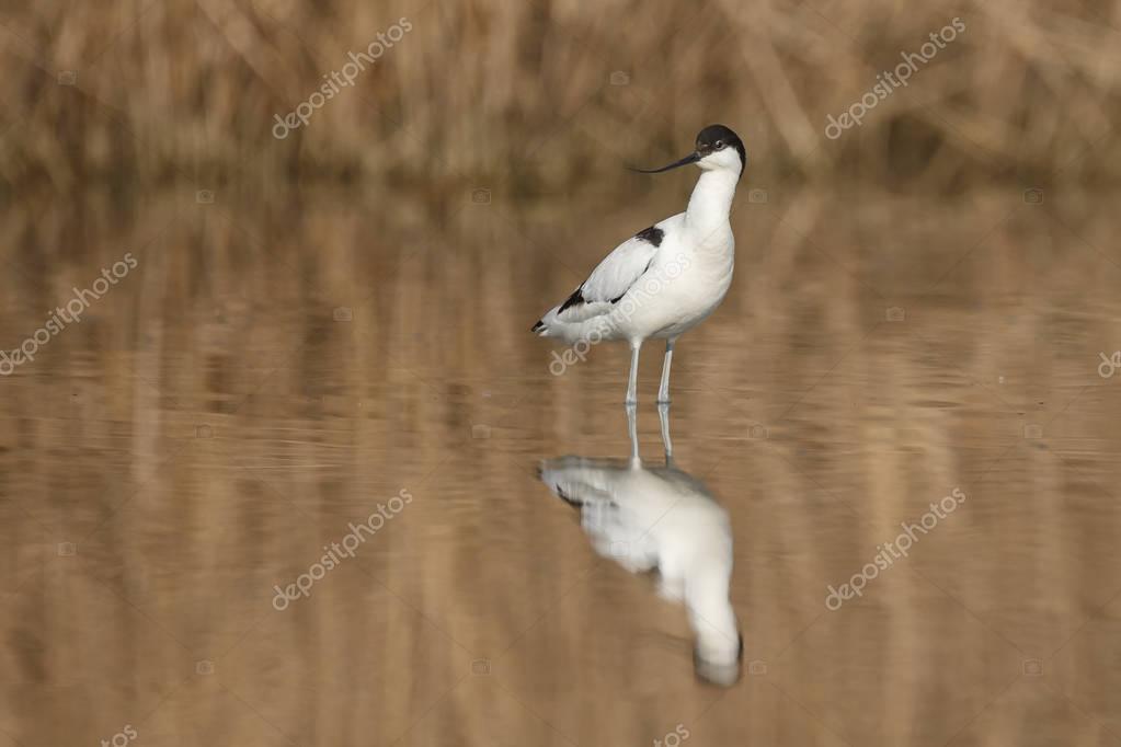 Pied avocet ( Recurvirostra avosetta )