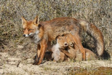 fox cubs suckling at mother fox