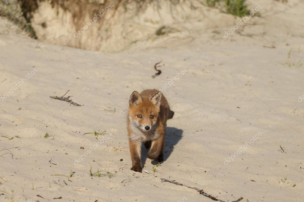 Red fox cub walking on nature