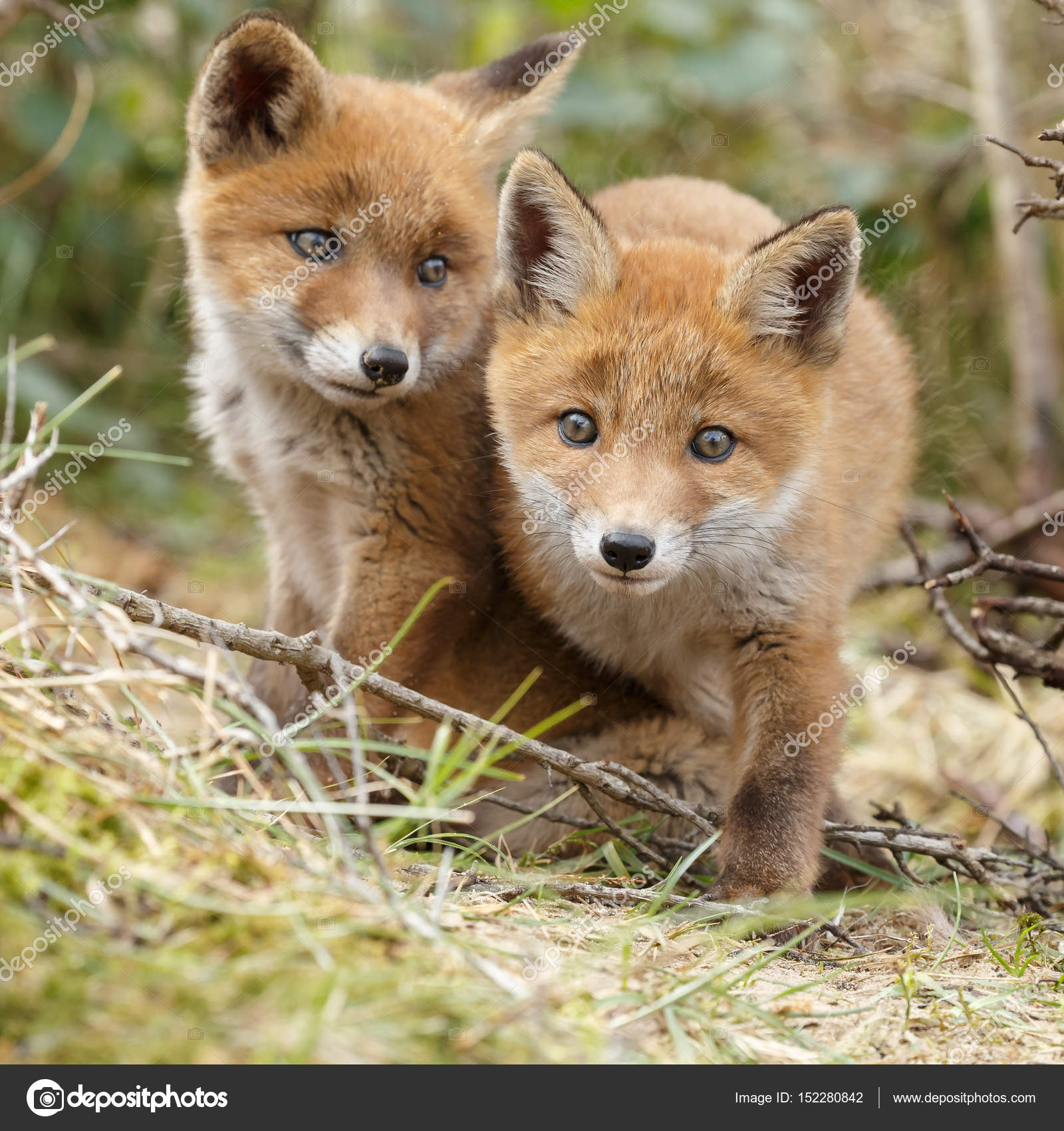 Due cuccioli di volpe rossa in posa vicino a vicenda \u2014 Foto di MennoSchaefer