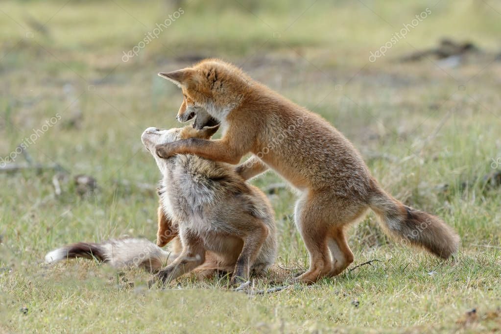 Red foxes family
