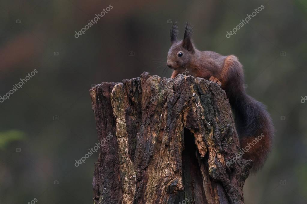 Red squirrel in a forest