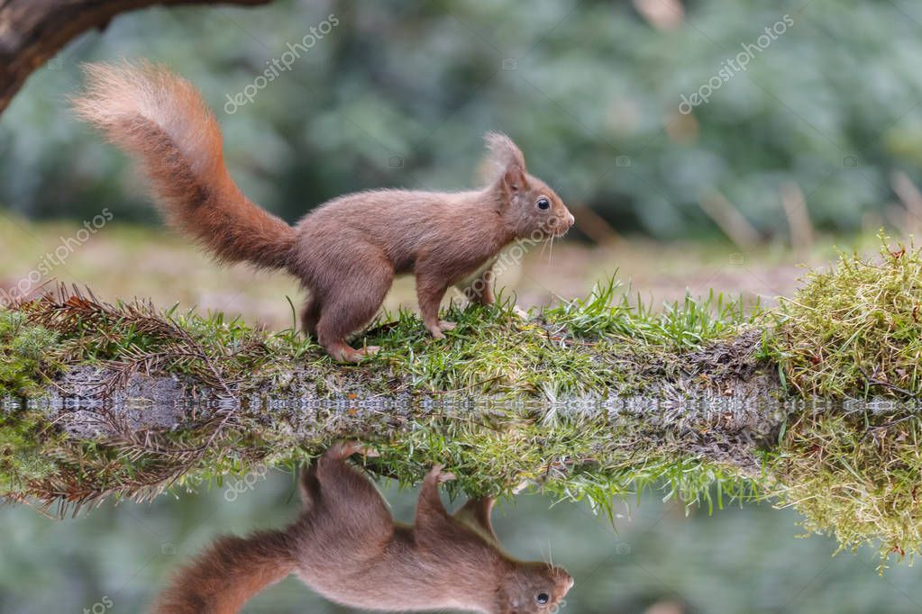 Red squirrel in a forest with a reflection in water