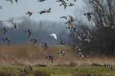 Bílé barvě černé dlouhoocasého v letu