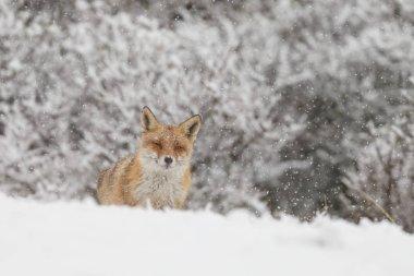 Red fox in dutch dunes stock vector