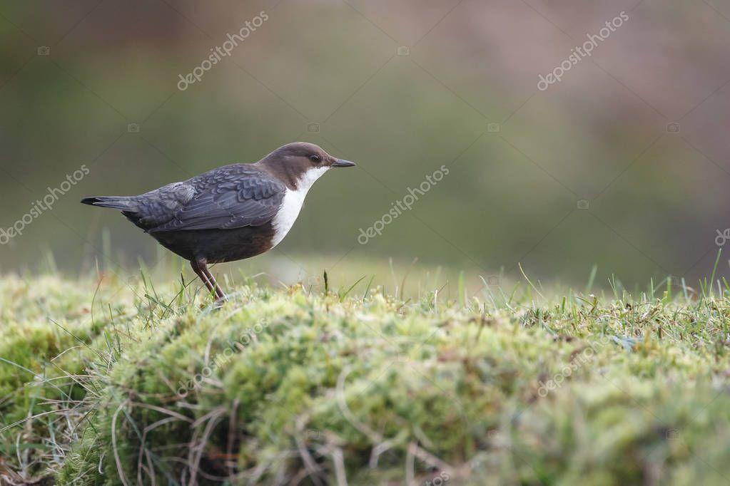 white throated dipper bird