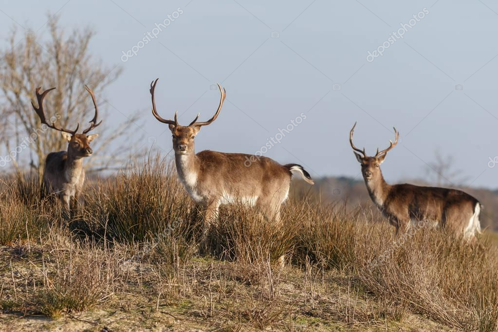 three deer in nature habitat