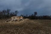 Red fox mládě v přírodě