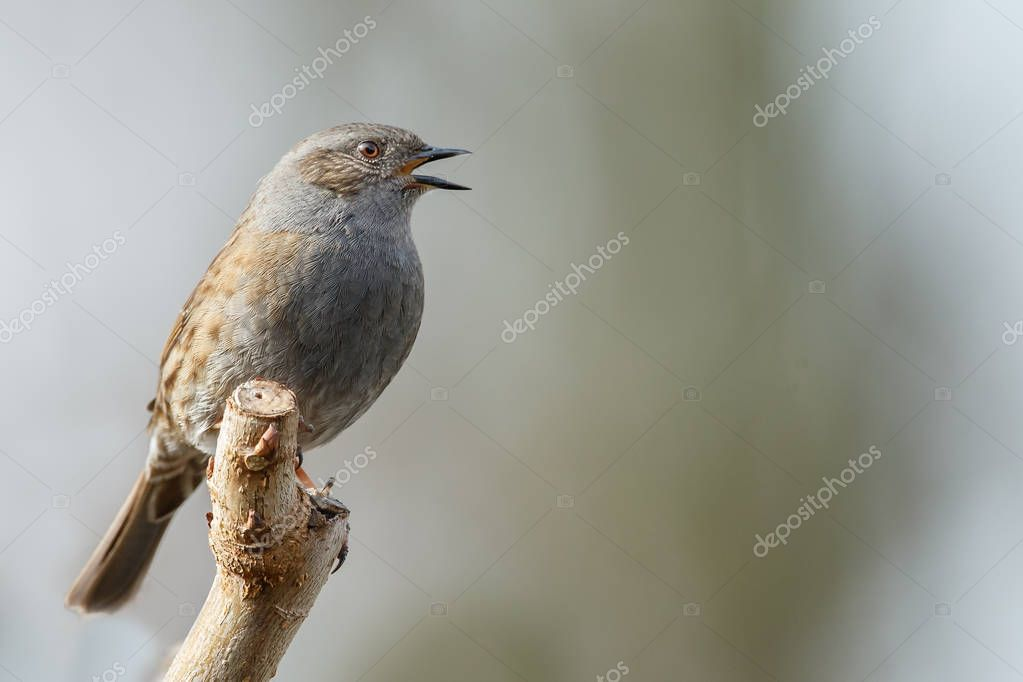 Llittle motley bird sitting and singing on branch on blurred background