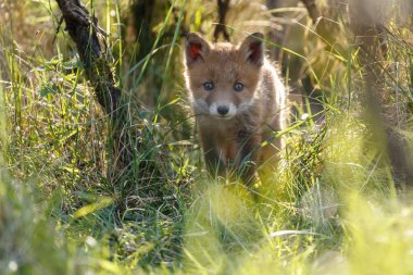 Little cute young red fox walking among grass