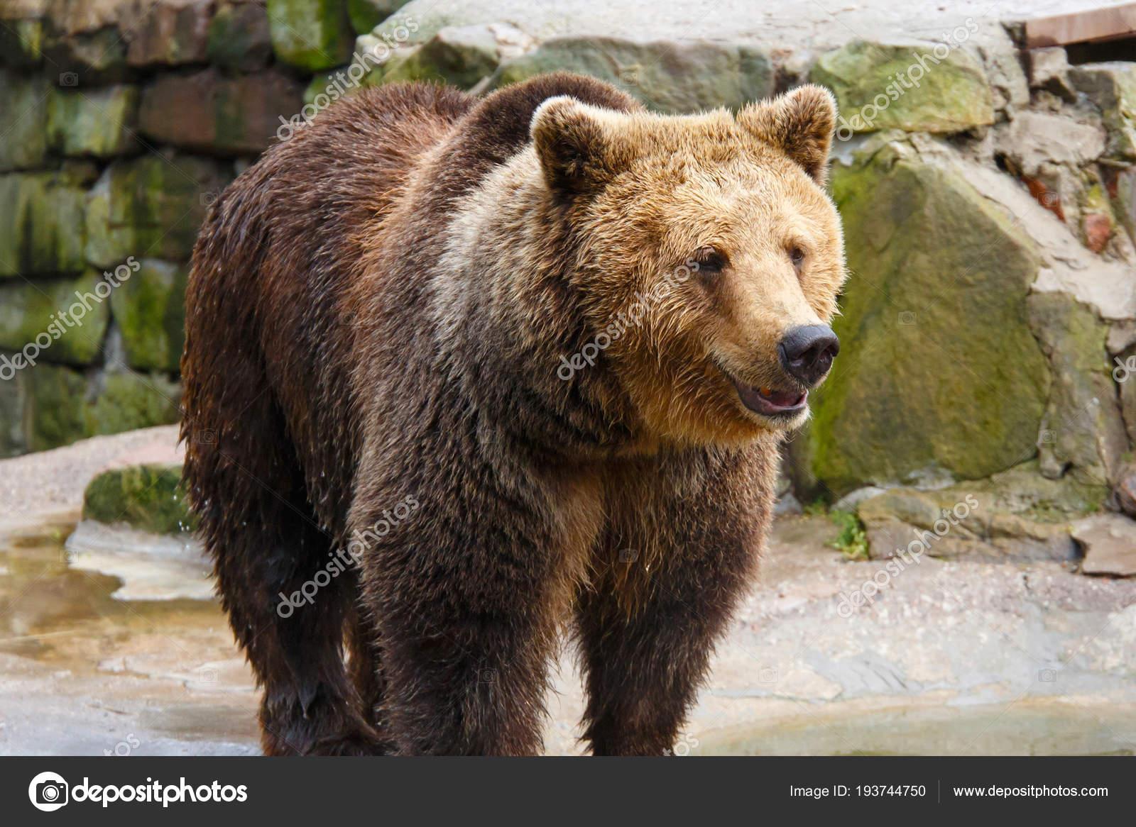 большой коричневый медведь