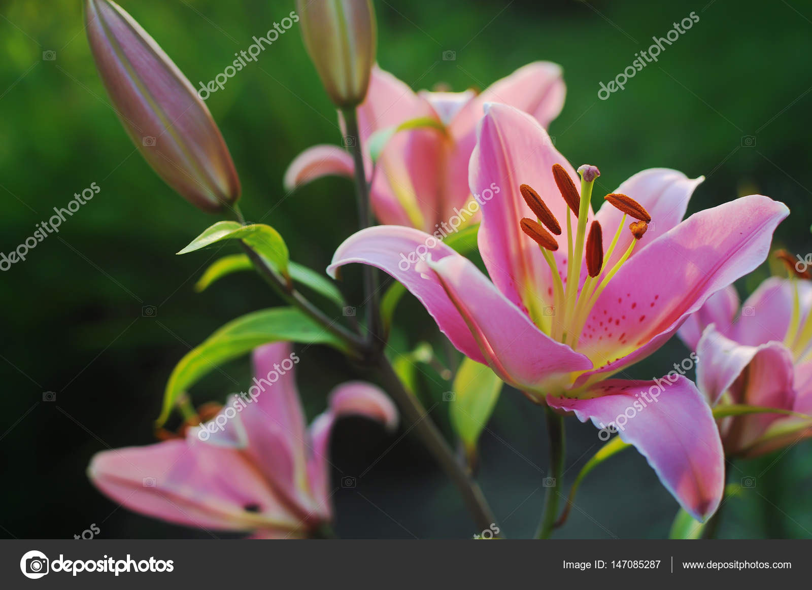 Huge Pink Lily Flower Stock Photo Shinedawn 147085287