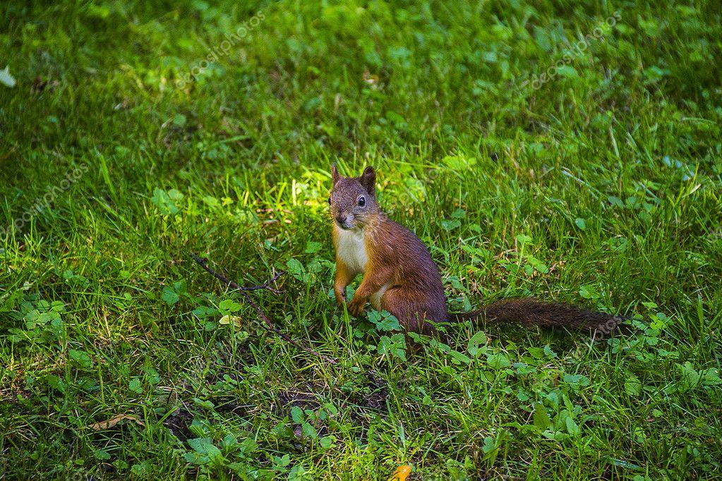 Junge östlichen Fuchs Eichhörnchen Im Garten Rot Stockfoto