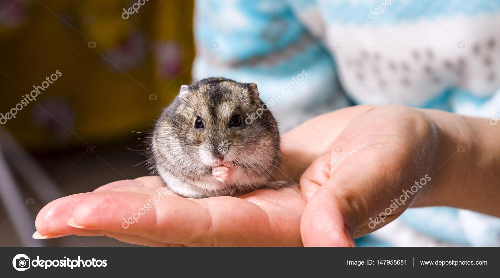 hamster hårig