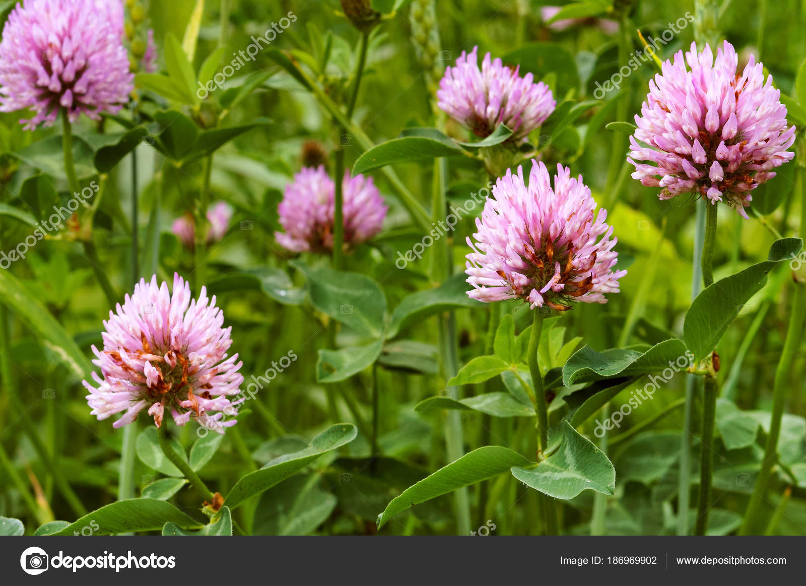 Clover Wild Flower Pink Clover Summer Flowering Plant Stock Photo
