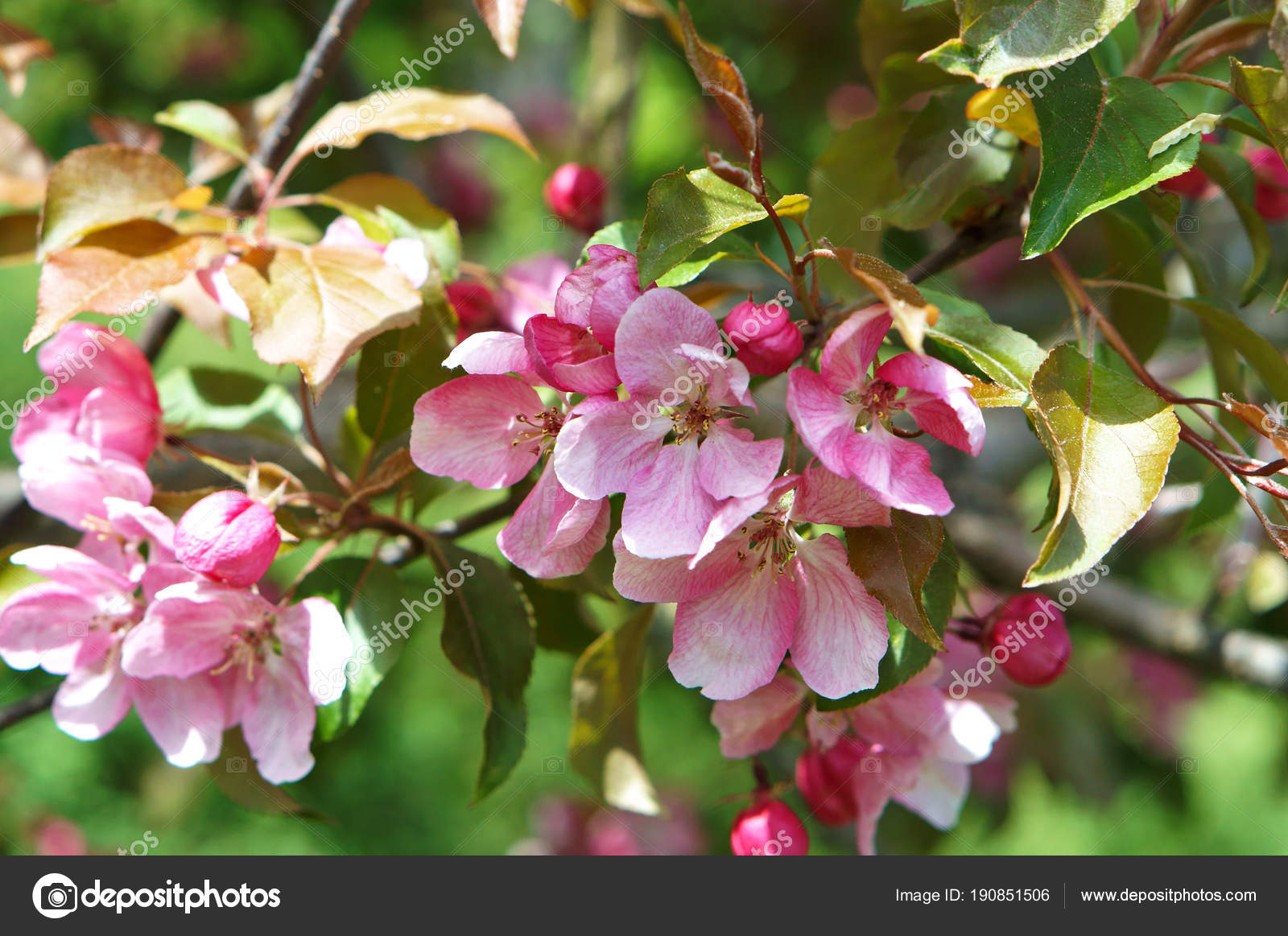 Flowering Trees Spring Pink Apple Flowers Pink Flowers Tree Branches
