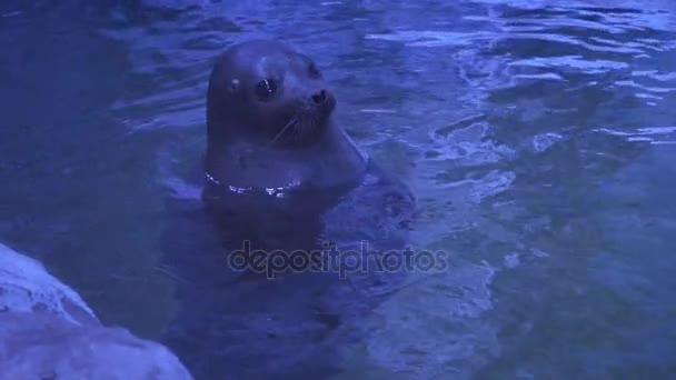A beautiful seal floats in the water.