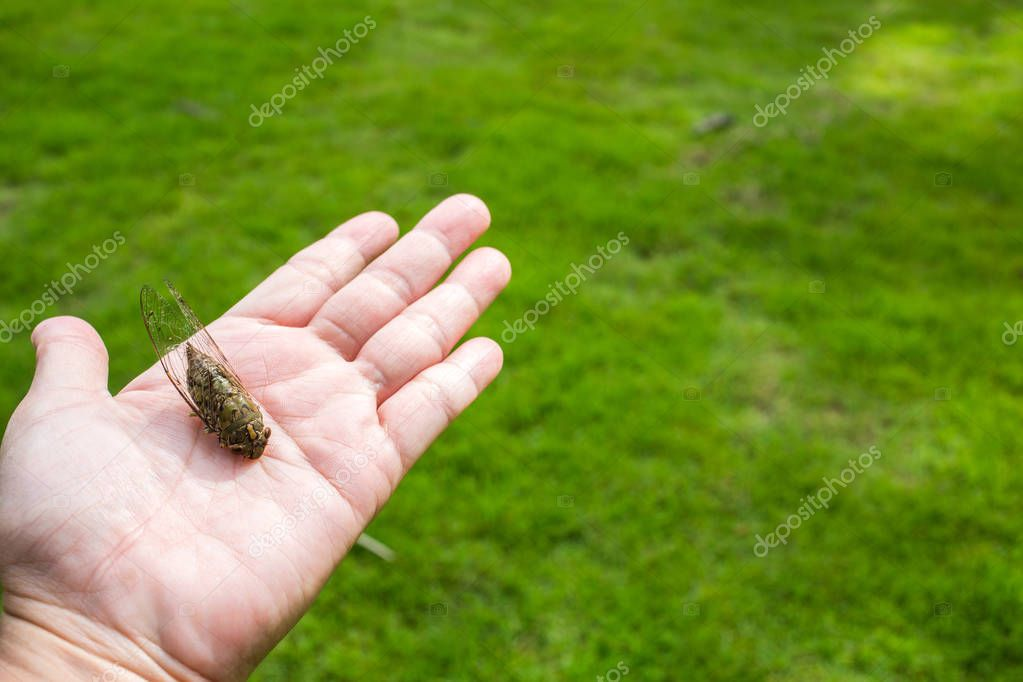 Cicada insect on woman's hand in green grass background
