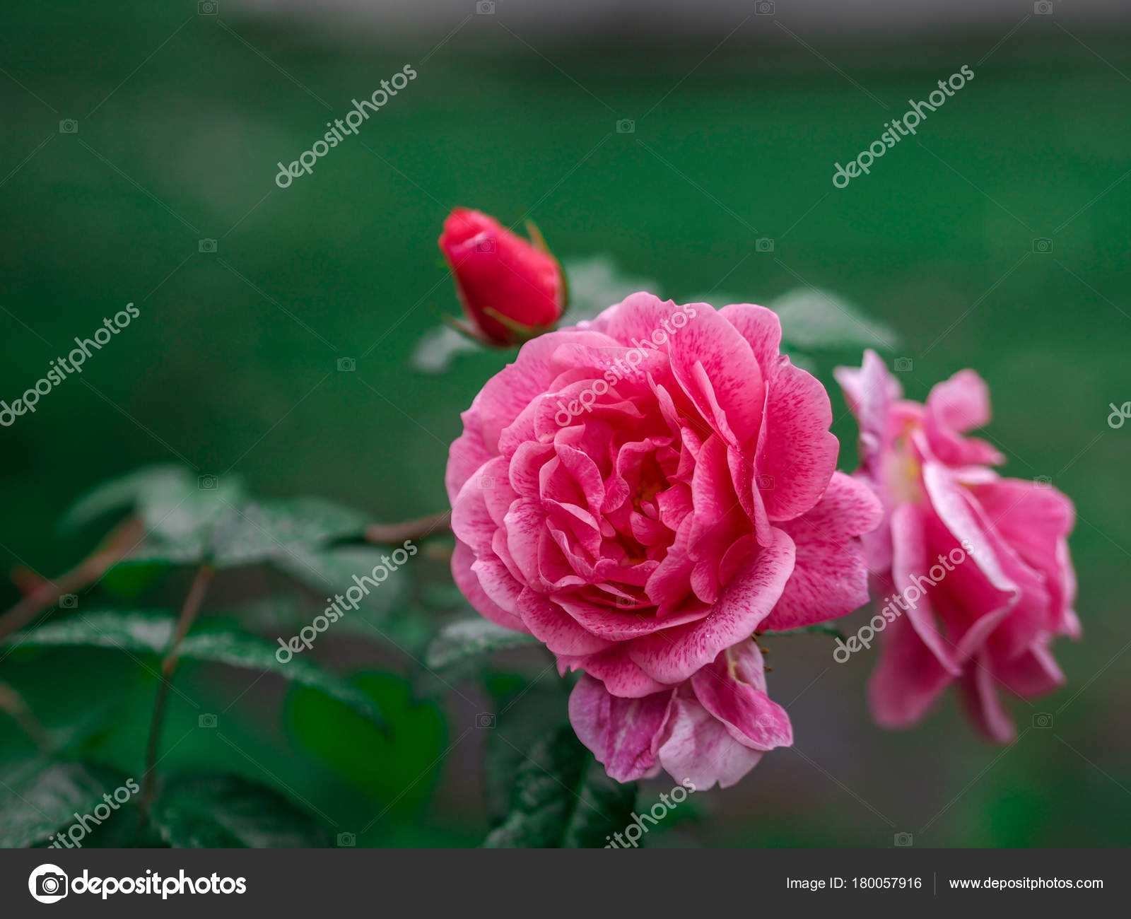 Fondos Rosas Para San Valentín Otra Celebración Enfoque Selectivo