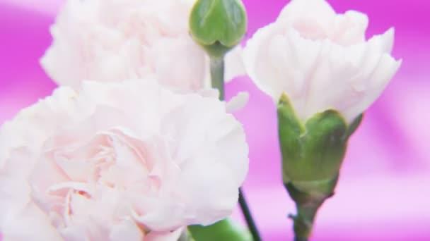 Bílé růže, otáčení na tmavě fialovém pozadí. Extrémní detail. Střílel na Red Epic