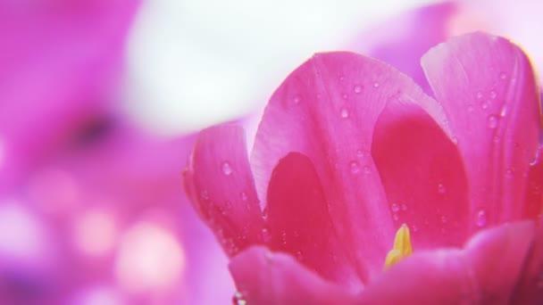 lila Tulpe auf rosa Hintergrund. Extreme Nahaufnahme. Schuss auf rotes Epos.