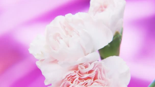 White Roses Rotating on a Deep Purple Background. Extreme close-up. Shot on RED Epic