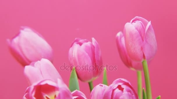 Purple Tulips Rotating on Pink Background. Extreme close-up. Shot on RED Epic.