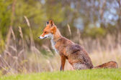 Divoká liška poblíž Hirtshals