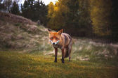 Wild red fox near HIrtshals
