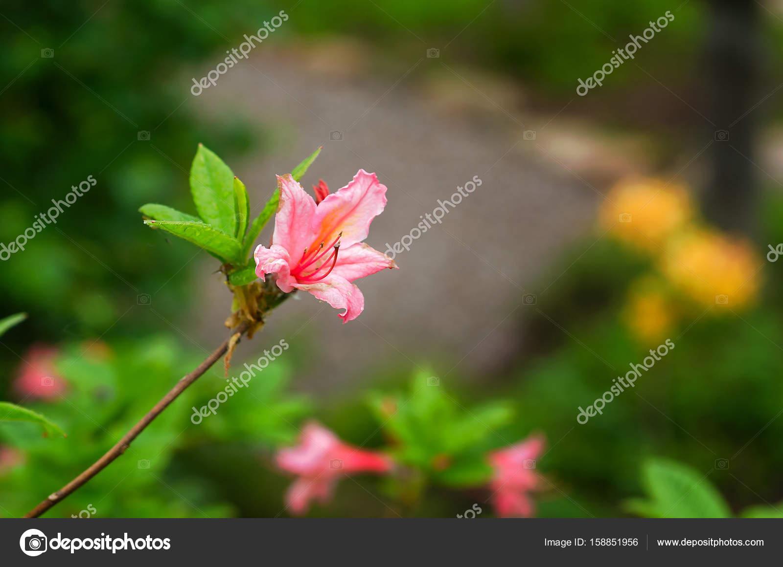 Pink Azalea Flower And Bud Stock Photo Kajani 158851956