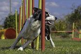 Fotografie Dog Agility Slalom, sportliche Wettkämpfe
