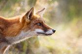 portrét red Fox