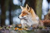 divoký red fox