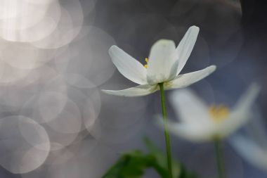 Anemone nemorosa flower