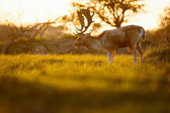 Fotografie wild fallow deer in beautiful light